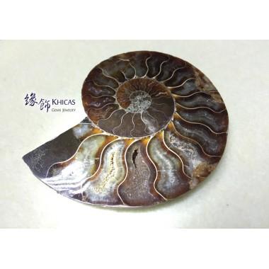 斑彩螺化石