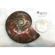 招財彩螺(斑彩螺)化石 72x58.9x20.5mm